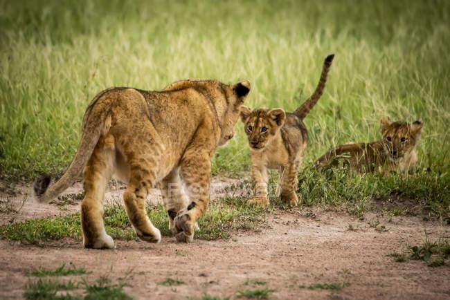 Vista panorâmica de majestosos cubos de leão na natureza selvagem — Fotografia de Stock