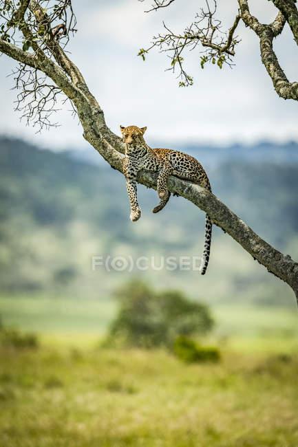 Majestueux et beau léopard relaxant sur l'arbre — Photo de stock