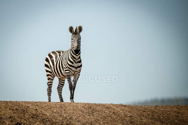 Plains zebra (Equus quagga) de pie sobre la cresta bajo el sol, Grumeti Serengeti Tented Camp, Parque Nacional Serengeti; Tanzania. - foto de stock