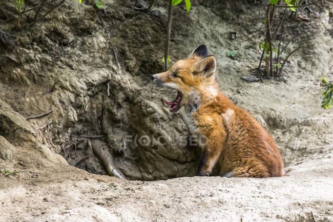 Червоний лис (Vulpes vulpes) позіхає і сидить при вході в нору біля Фербенксу; Аляска, Сполучені Штати Америки. — стокове фото