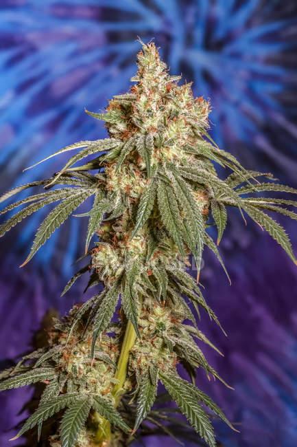 Plante de cannabis à la fin de la floraison ; Cave Junction, Oregon, États-Unis d'Amérique — Photo de stock