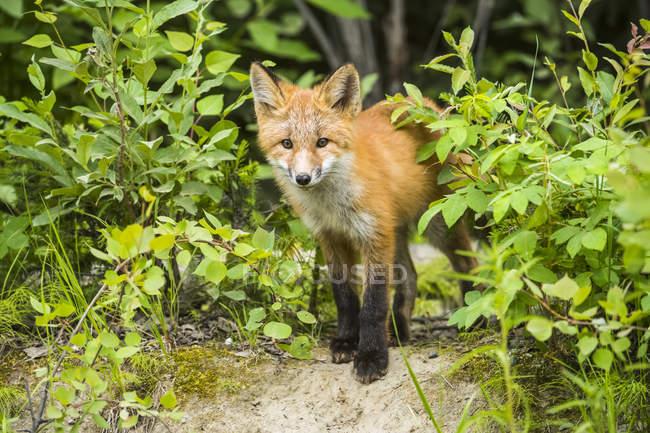 Червоний лисиця (Vulpes vulpes) начиння на кущах біля Фербенксу (Аляска, Сполучені Штати Америки) — стокове фото