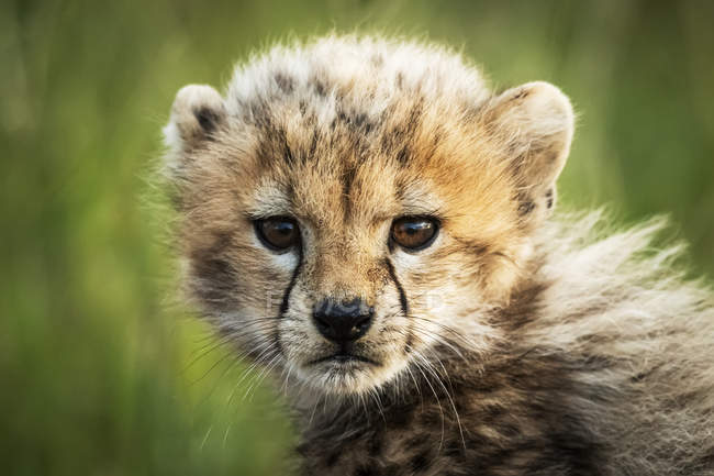 Cheetah cub (Acinonyx jubatus) sitting watching camera, Grumeti Serengeti Tented Camp, Serengeti National Park; Tanzania — Stock Photo