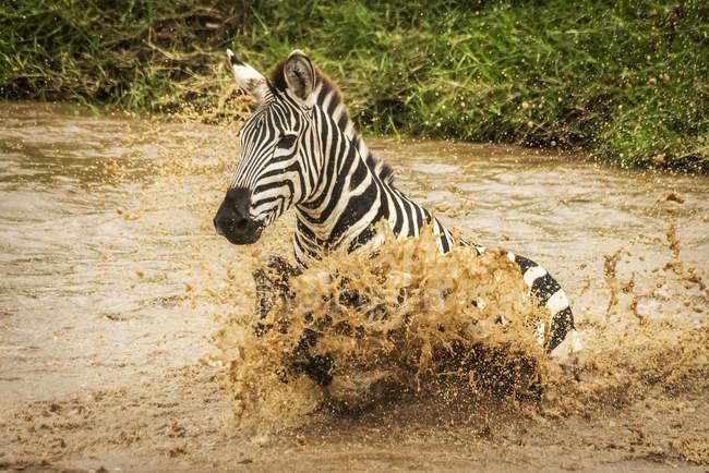 Равнинная зебра (Equus quagga), сражающаяся через реку в распылителе, Сафари-лагерь 1920-х годов, национальный заповедник Масаи-Мара; Кения — стоковое фото