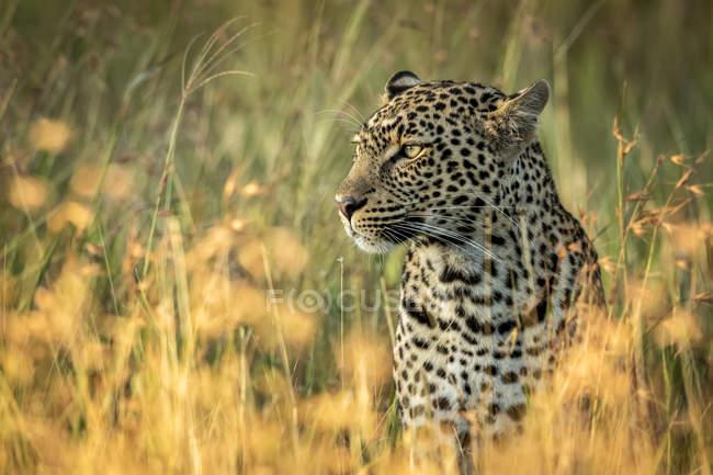 Maestoso e bellissimo leopardo in erba — Foto stock