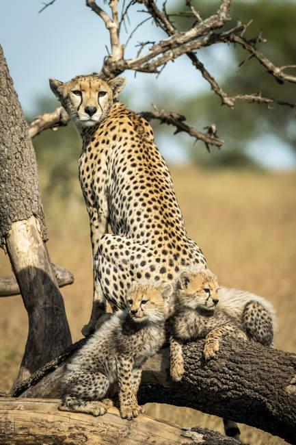 Majestueux portrait pittoresque guépards à la nature sauvage, fond flou — Photo de stock