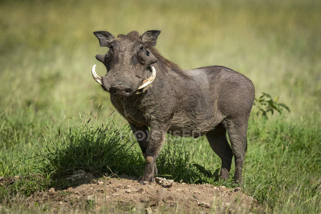 Common warthog (Phacochoerus africanus) standing on an earth mound turning in the sunshine. Grumeti Serengeti Tented Camp, Serengeti National Park; Tanzania — Stock Photo