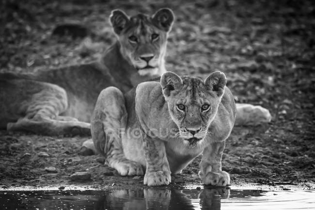 Scenic view of majestic lions at wild nature, monochrome — Stock Photo