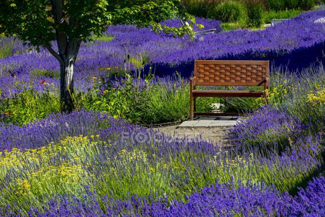 Fattoria Lavanda con panca in legno tra piante in fiore; British Columbia, Canada — Foto stock