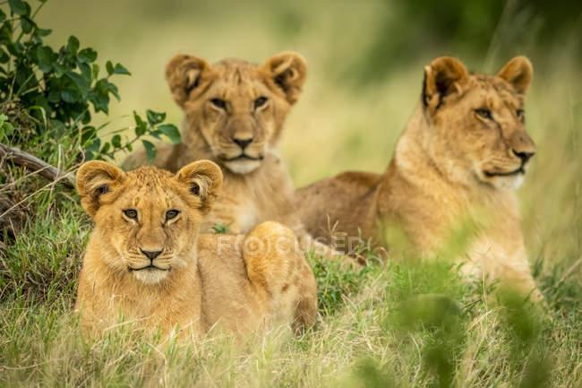 Vista panoramica di tre cuccioli di leone carino a natura selvaggia — Foto stock