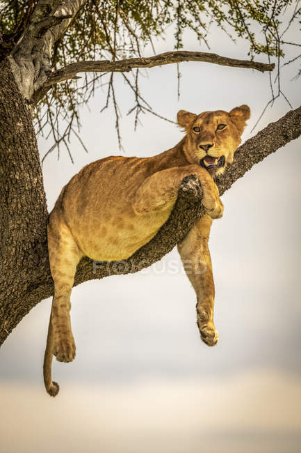 Scenic view of majestic lion at wild nature lying on tree — Stock Photo