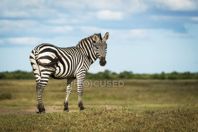 Plains zebra (Equus quagga) standing on bank looking round, Grumeti Serengeti Tented Camp, Serengeti National Park; Tanzania — Stock Photo
