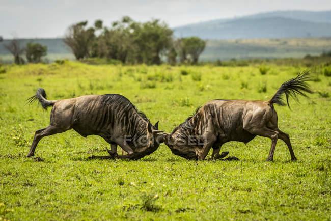 Due gnu azzurri maschi (Connochaetes taurinus) che combattono nelle praterie, il Safari Camp di Cottar negli anni '20, riserva nazionale di Maasai Mara; Kenya — Foto stock