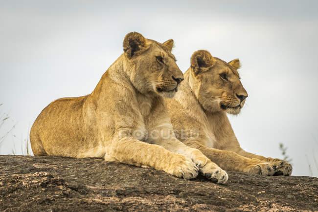 Vista panorámica de majestuosos leones en la naturaleza salvaje - foto de stock
