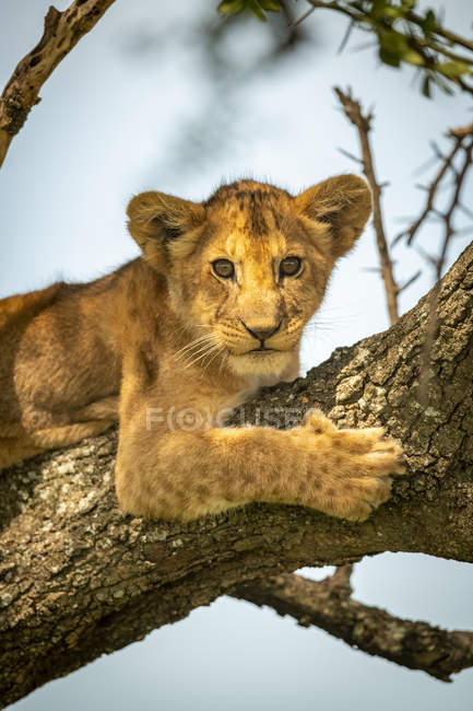 Scenic view of majestic lion cub at wild nature, lying on tree — Stock Photo