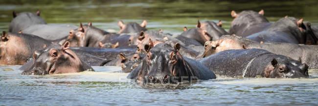 Vista panorámica de Hipopótamos majestuosos y lindos en la naturaleza salvaje — Stock Photo