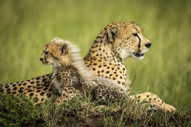 Majestuoso retrato escénico de Cheetahs en la naturaleza salvaje, de fondo borroso. - foto de stock