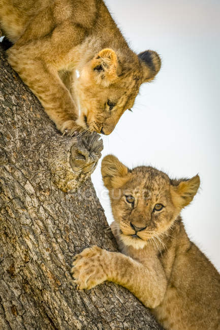 Vista panorámica de majestuosos cachorros de león en la naturaleza salvaje en el árbol - foto de stock