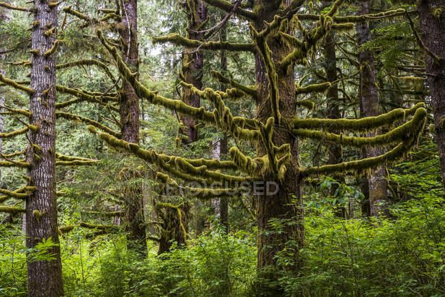 La mousse pousse sur les conifères à Clatsop State Forest ; Hamlet, Oregon, États-Unis d'Amérique — Photo de stock