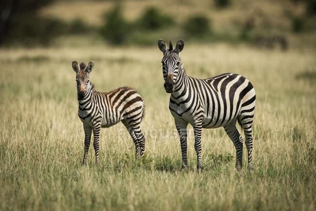 Cámara de observación de cebra madre y foal (Equus quagga), Kleins Camp, Parque Nacional Serengeti; Tanzania. - foto de stock