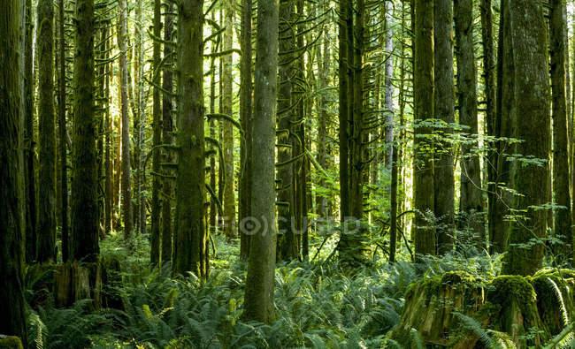 Piante lussureggianti nel sottobosco di una foresta pluviale con tronchi d'albero ricoperti di muschio; British Columbia, Canada — Foto stock
