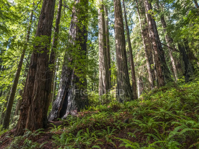 Scenic view of famous Redwood forests of Northern California, California, United States of America — Stock Photo