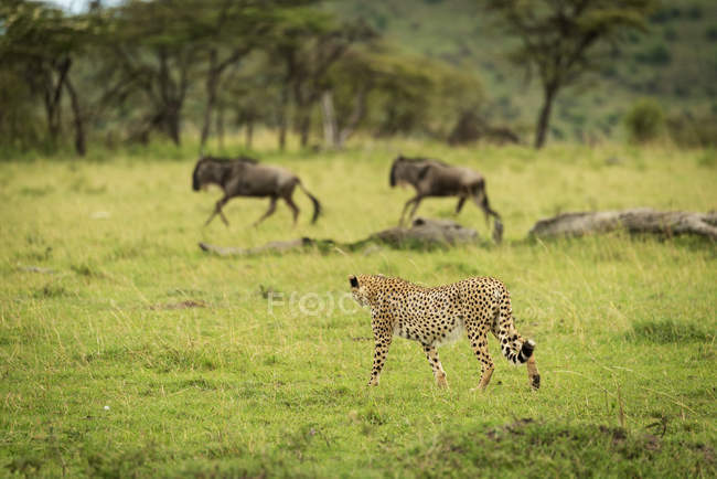 Majestuoso retrato escénico de Cheetah en la caza salvaje de animales - foto de stock