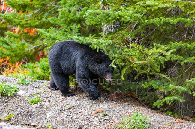 Orso nero (Ursus americanus) in montagna; Columbia Britannica, Canada — Foto stock