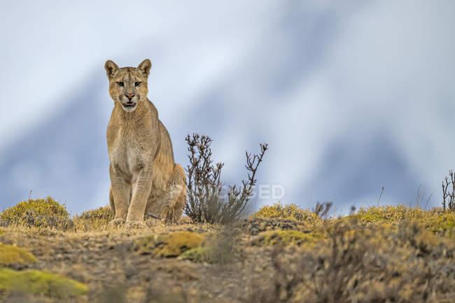 Puma auf der Landschaft in Südchile; Chili — Stockfoto