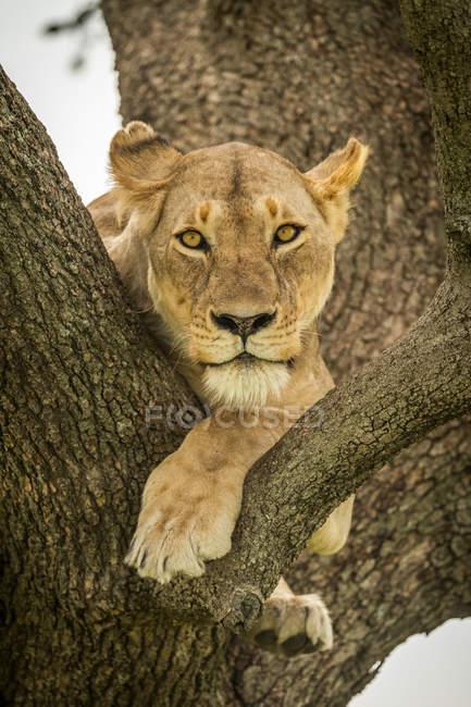 Vista panorámica del majestuoso león en la naturaleza salvaje sentado en el árbol - foto de stock