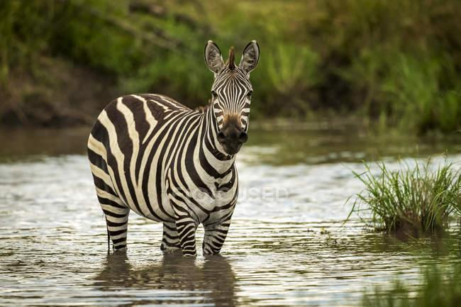 Plains zebra (Equus quagga) de pie en la cámara de vista de la piscina, Safari Camp, Reserva Nacional Maasai Mara; Kenia. - foto de stock