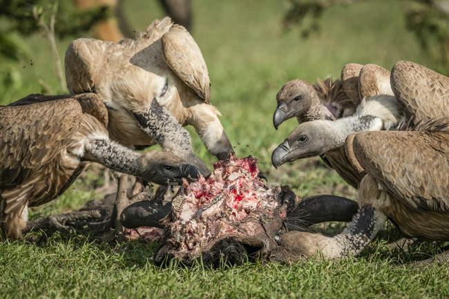 Білоспинні грифи харчуються вбивством. — стокове фото