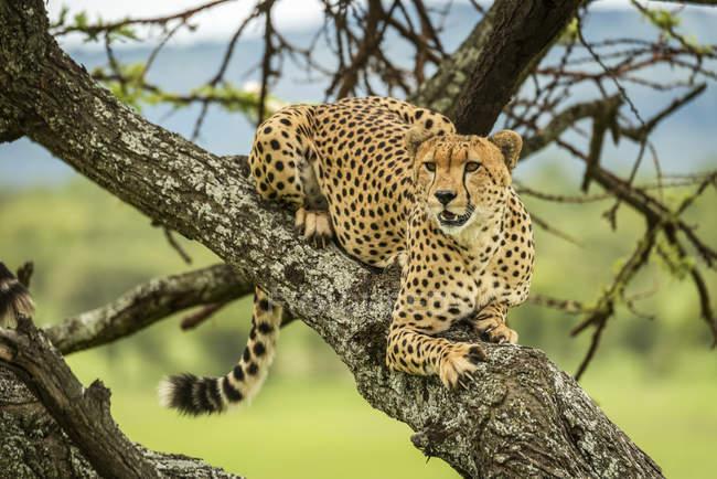 Maestoso ritratto scenico di Cheetah a natura selvaggia — Foto stock