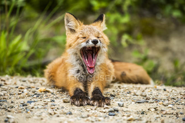 Red fox (Vulpes vulpes) kit yawning in the entrance of den burrow near Fairbanks; Alaska, United States of America — Photo de stock