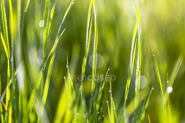 Wet blades of grass in sunlight; British Columbia, Canada — Stock Photo