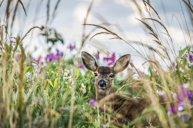 Black-tailed deer (Odocoileus hemionus) in tall grass at Cape Disappointment State Park; Ilwaco, Washington, United States of America — Stock Photo