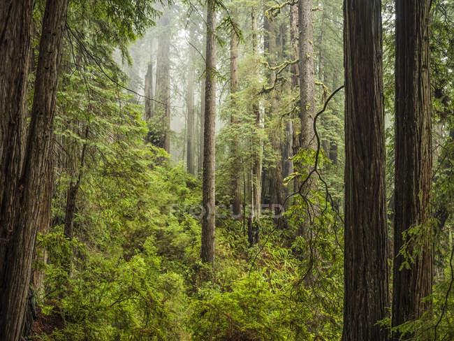 Vista panorámica de los famosos bosques de secuoyas del norte de California, California, Estados Unidos de América - foto de stock