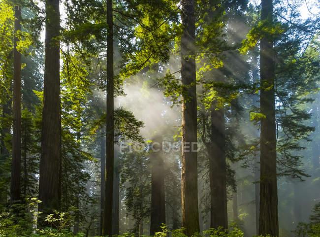 Солнечные лучи в лесу в Калифорнийских секвойях; Калифорния, США — стоковое фото