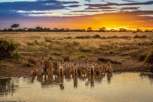 Vista panoramica di maestosi leoni alla natura selvaggia acqua potabile al tramonto — Foto stock