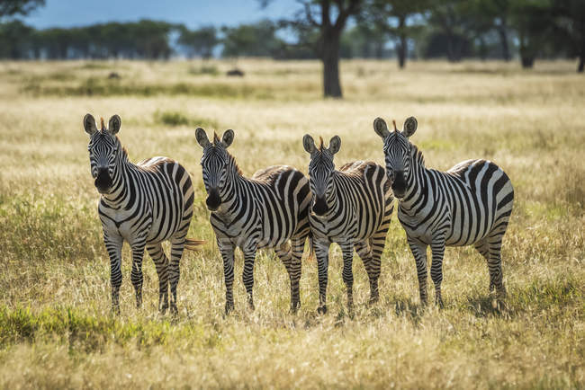 Four plains zebras (Equus burchellii) standing and staring towards camera, Grumeti Serengeti Tented Camp, Serengeti National Park; Tanzania — Stock Photo