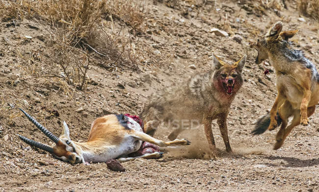 Common Jackal (Canis Aureus) and Black-backed Jackal (Canis mesomelas) attacking and killing a Thomsons Gazelle (Gazella thomsoni) for food; Tanzania — Stock Photo