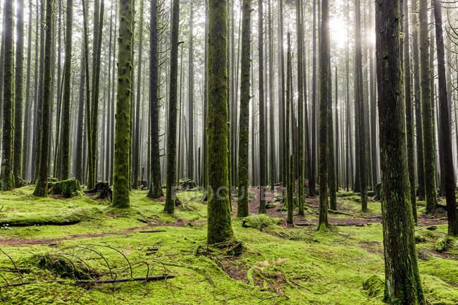 La luce del sole splende attraverso l'aria nebbiosa in una foresta pluviale; British Columbia, Canada — Foto stock