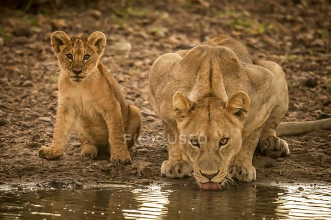 Живописный вид величественных львов на дикой природе питьевой воды — стоковое фото