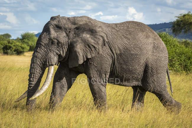 Vista panoramica di bellissimo elefante grigio a natura selvaggia — Foto stock