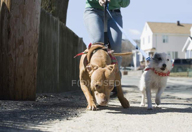Ragazza che cammina con i cani sulla strada — Foto stock