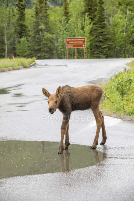 Scenic view of moose on road at nature of Denali National Park and Preserve; Alaska, United States of America — Stock Photo