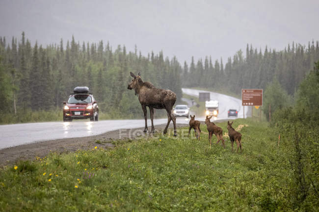 Scenic view of moose crossing road at nature of Denali National Park and Preserve; Alaska, United States of America — Stock Photo