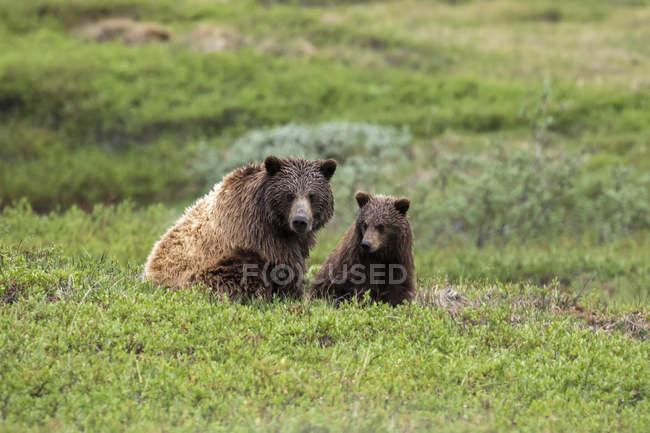 Vue panoramique sur les ours majestueux à la nature sauvage — Photo de stock