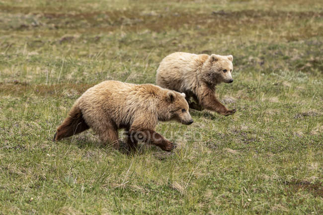 A pair of immature grizzly cubs (Ursus arctos horribilis) running together to catch up with mom feeding ahead, Denali National Park and Preserve; Alaska, United States of America — Stock Photo