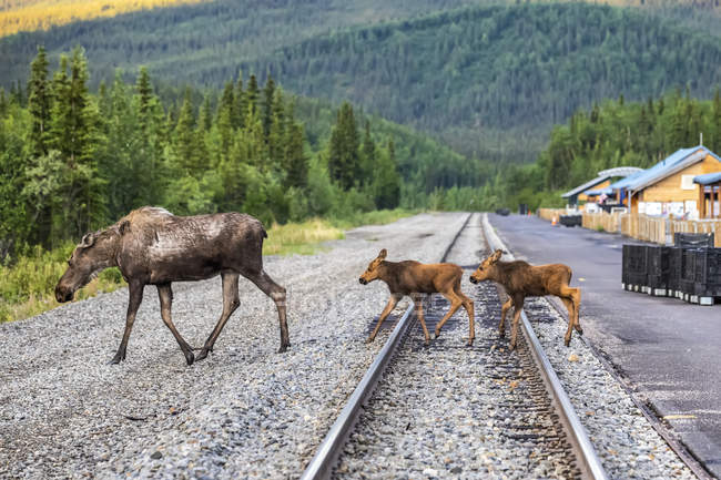 Scenic view of moose crossing rails at nature of Denali National Park and Preserve; Alaska, United States of America — Stock Photo